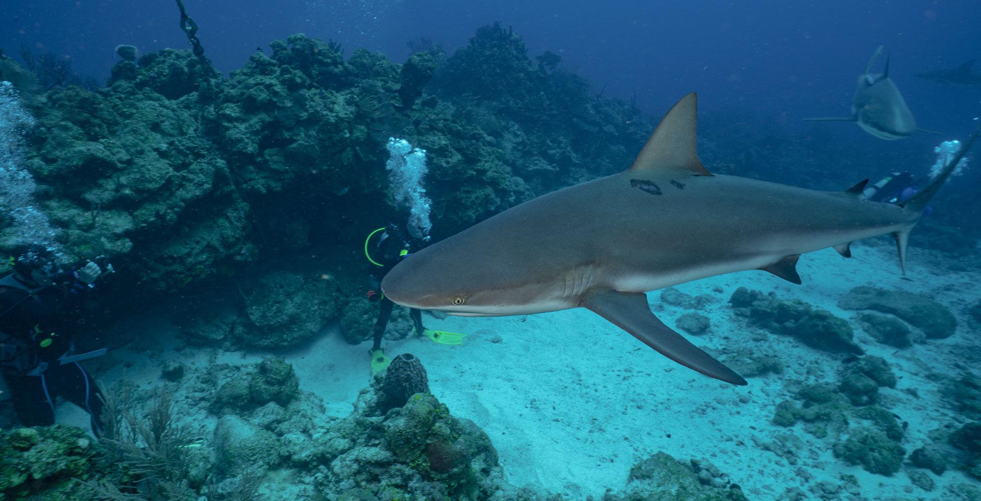 Buceo con Tiburones, Roatán, Honduras